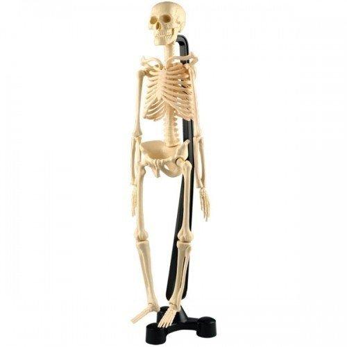 """Модель скелета """"SK038"""""""